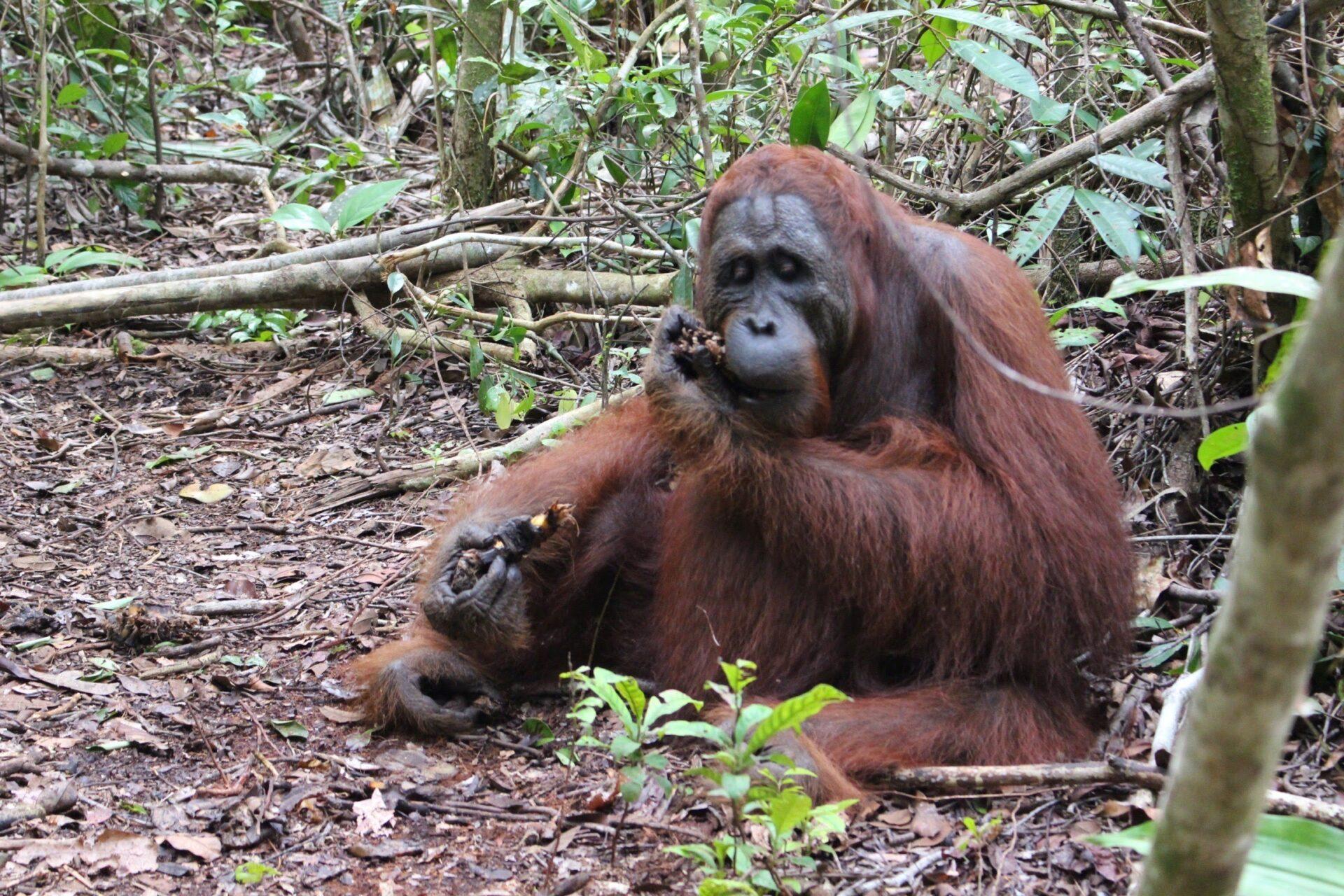 カリマンタン島 : オラウータンに会いにいくジャングルクルーズ(4泊5日)